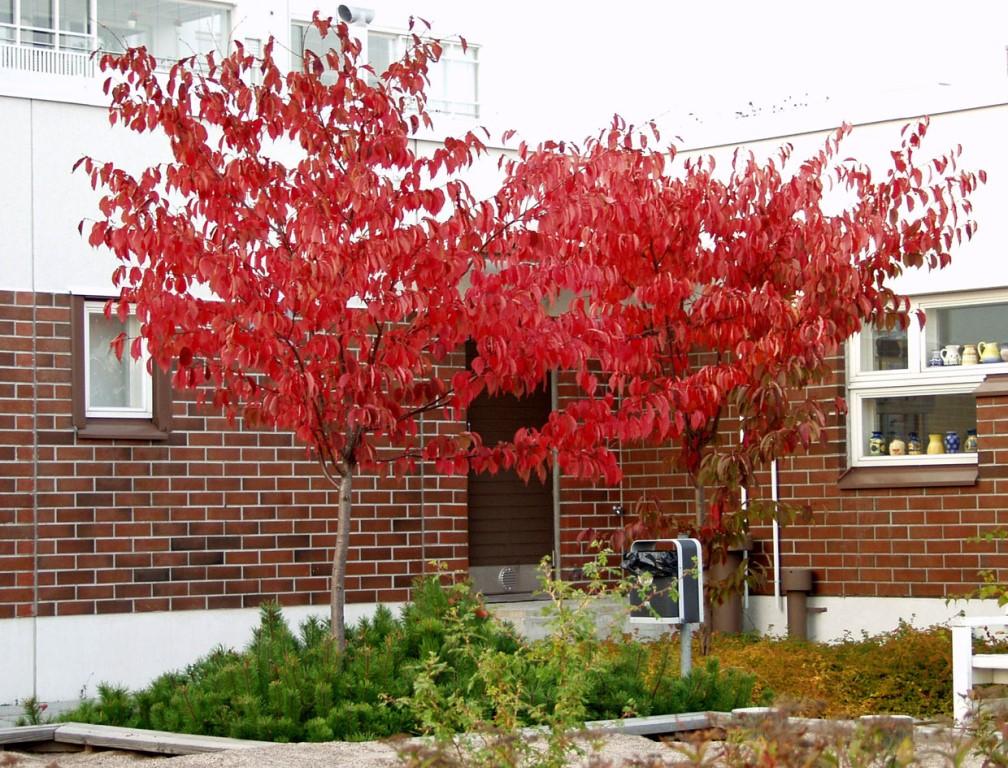 Prunus sargentii syyspuut