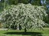 Malus Hyvingiensis puu
