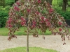 Malus Royal Beauty