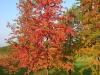 Prunus pensylvanica syyspuu
