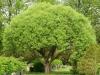 Salix f. Bullata