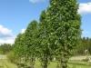 Sorbus Fastigiata puu