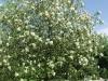 Sorbus intermedia puu